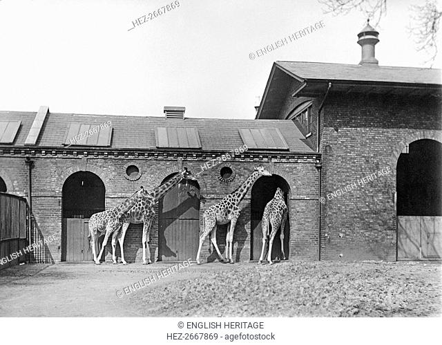 Giraffe House, Zoological Gardens, Regent's Park, London, 1912. Artist: Rupert Potter