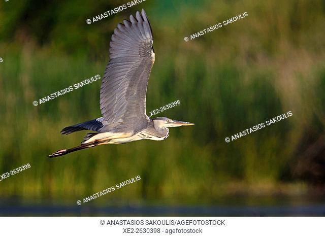Grey Heron - Ardea cinerea, Crete