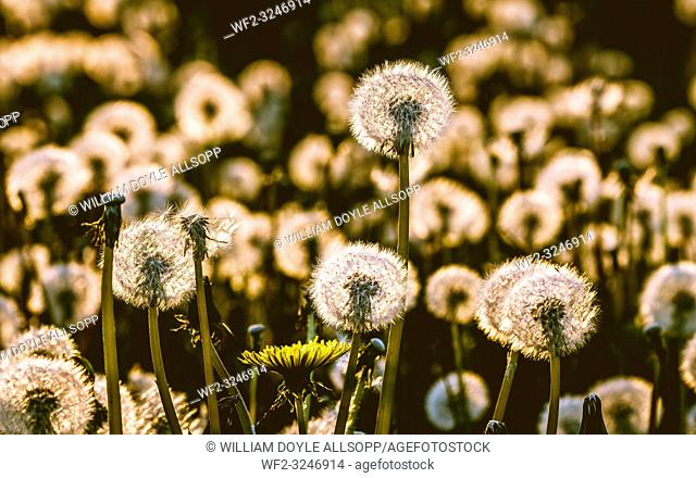 Dandelion seed heads glow with the lights as the sun sets in the evening