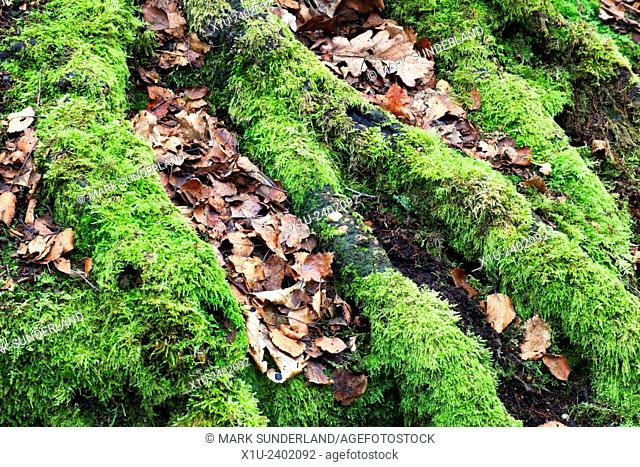 Moss Covered Tree Roots and Fallen Leaves Goitstock Wood Cullingworth West Yorkshire England