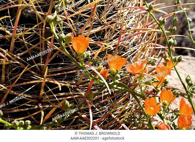 Barrel Cactus (Ferocactus wislizenii) and Globe mallow (Sphaeralcea ambigua)