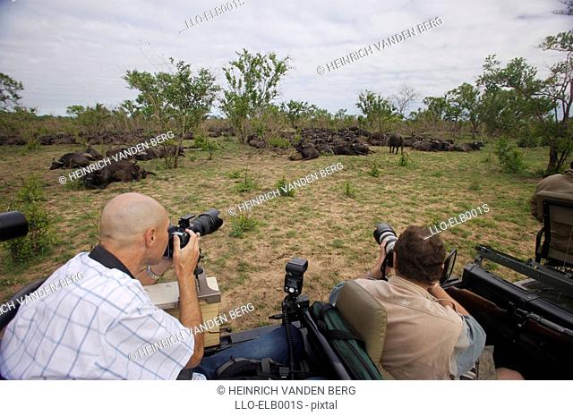 Two Men Photographing Herd of Buffalo Syncerus caffer  Sabi Sands Conservancy, Mpumalanga Province, South Africa