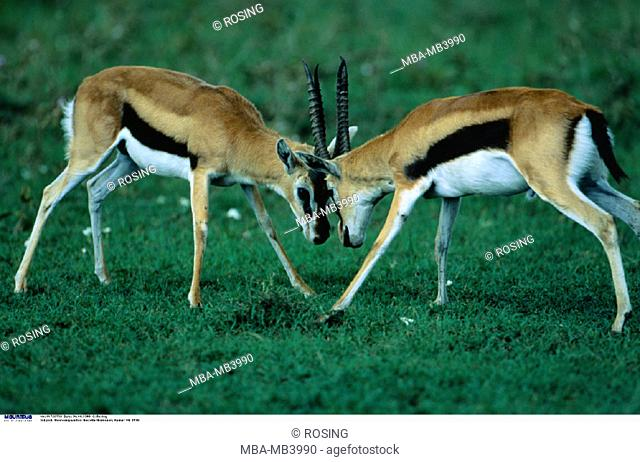 Thomson's gazelles, Gazella thomsoni, Bucks