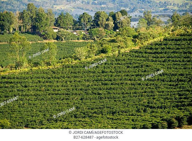 Coffee plantations near Poas volcano. Central Valley. Costa Rica. Central America