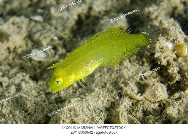 Whitepatch Razorfish (Iniistius aneitensis) on sand, Tasi Tolu East dive site, Dili, East Timor (Timor Leste)