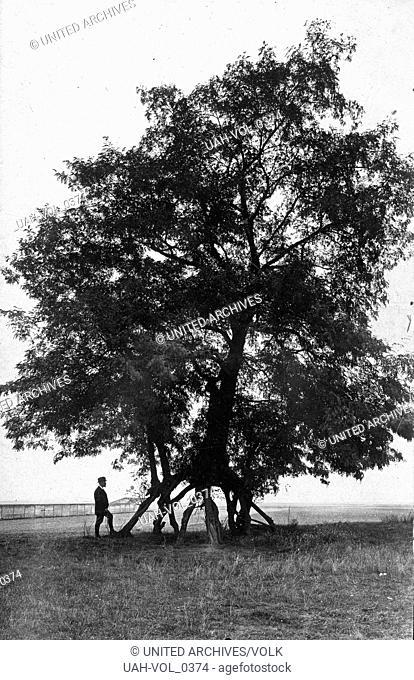 Stelzenakazie bei Bnn, Deutschland 1920er Jahre. Stilt acacia tree near Bonn, Germany 1920