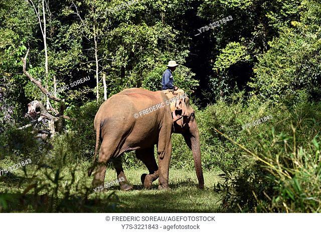 Asiatic elephant walking through forest,Sen Monrorom,Mondolkiri province,Cambodia,South east Asia