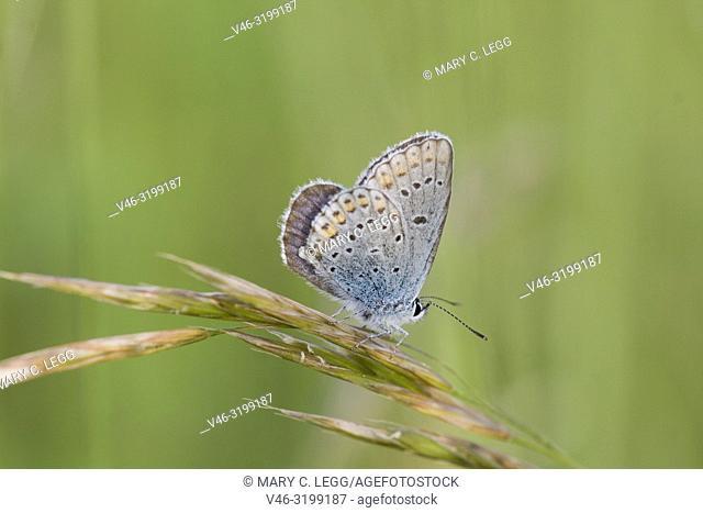 Idas Blue, Plebejus idas upper wings. Newly emerged Idass Blues taking salts from the gravel