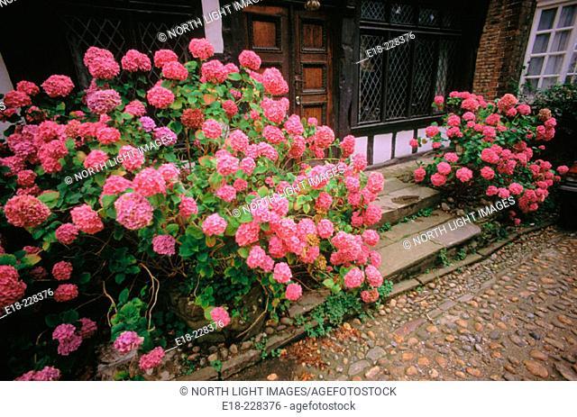 Flowering pink hortensias (Hydrangea sp.). Rye, East Sussex. England. UK