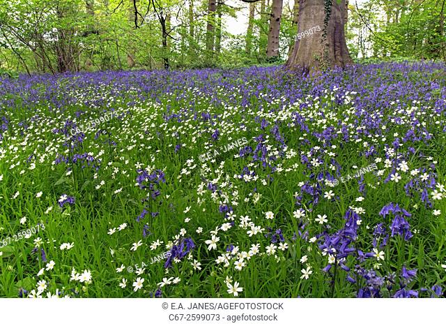 Bluebells and Greater Stitchwort Stellaria holostea in May