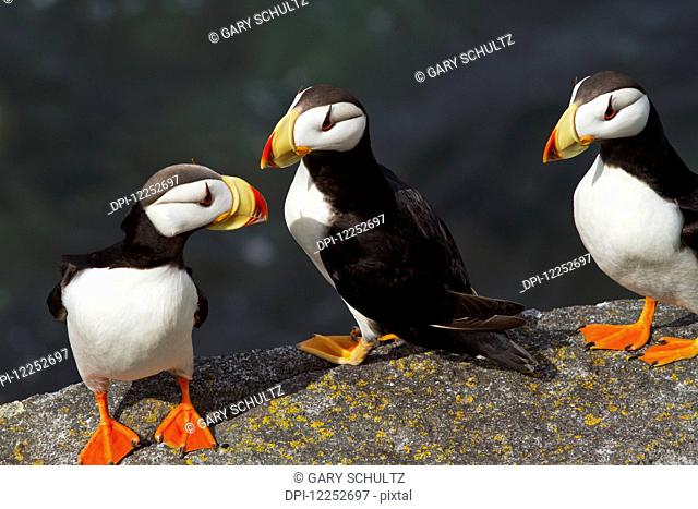 Three Horned puffins (Fratercula corniculata) perched on a boulder with the ocean in the background, Walrus Islands State Game Sanctuary, Round Island