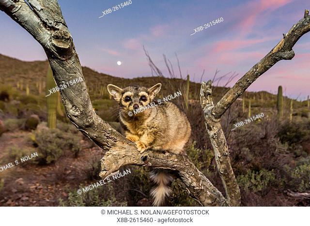 Captive ringtail, Bassariscus astutus, at sunset, Arizona Sonora Desert Museum, Tucson, AZ, USA