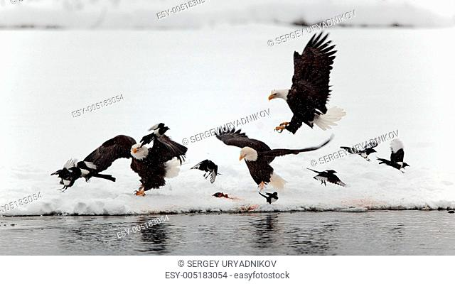 Bald Eagles and magpies