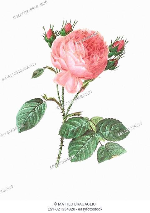 flower antique illustration rosa centifolia