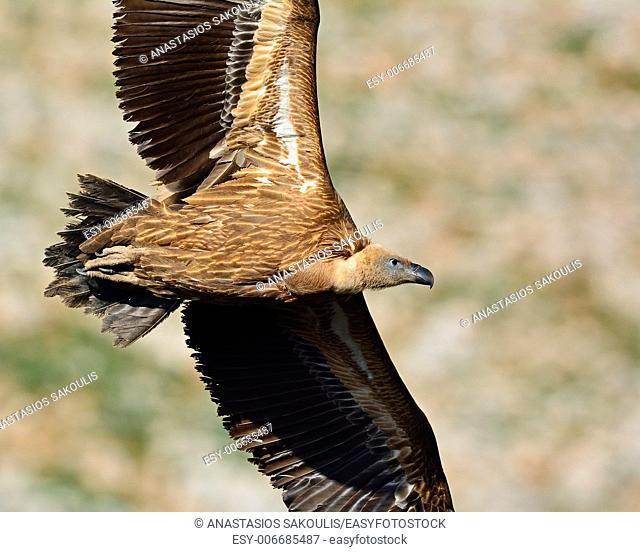 Griffon Vulture (Gyps fulvus), Crete, Greece