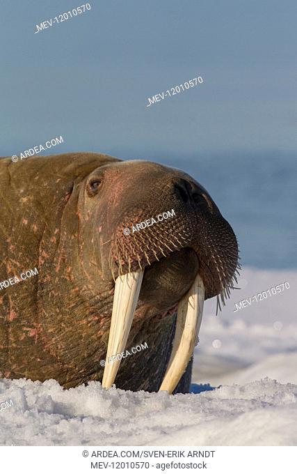 Walrus - adult male portrait - Svalbard, Norway