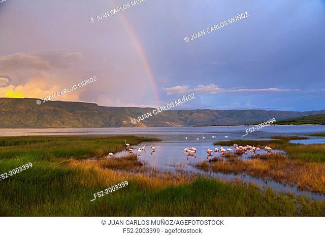 Lesser flamingo, Bogoria Lake, Rift Valley, Kenya, Africa