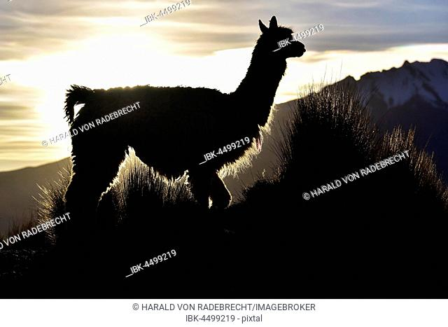 Llama (Lama glama) as a silhouette against the light in front of mountain, evening light, in Cusco, Andes, Peru