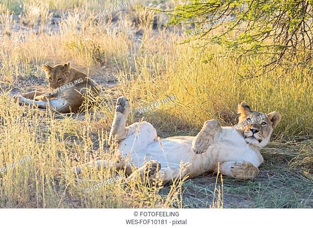 Botswana, Kgalagadi Transfrontier Park, lion, Panthera leo