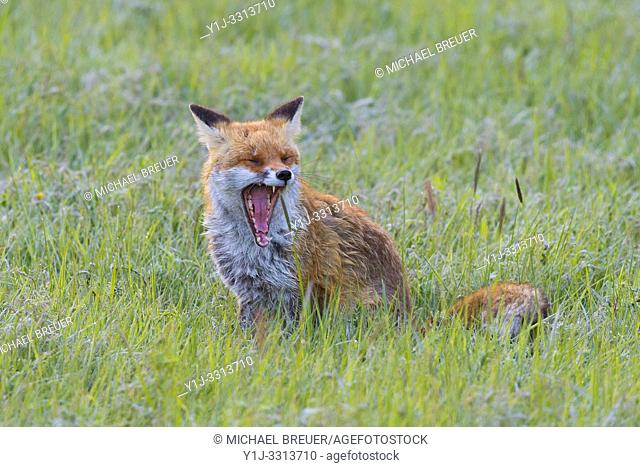 Red fox (Vulpes vulpes) on meadow, Summer, Hesse, Germany, Europe