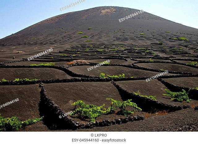 la geria wall grapes cultivation viticulture winery lanzarote spain vine screw crops