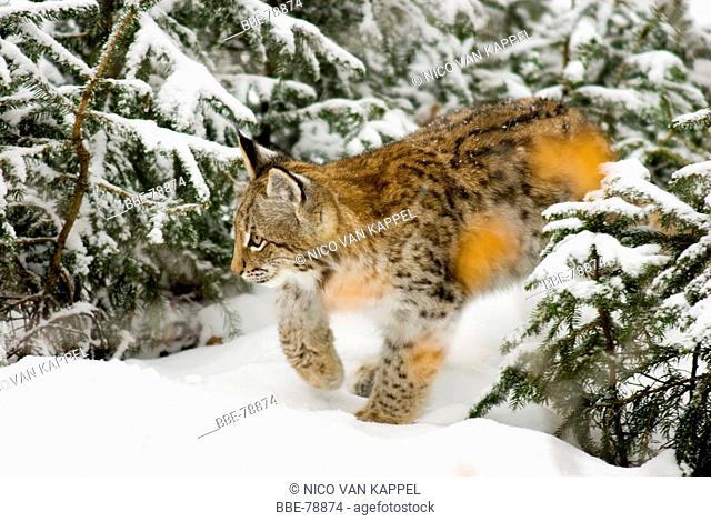 young european lynx stalking