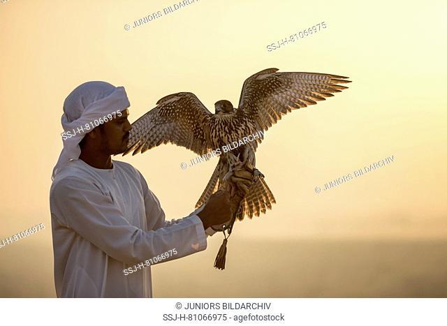 Saker Falcon (Falco cherrug) on glove of falconer in evening light. Abu Dhabi