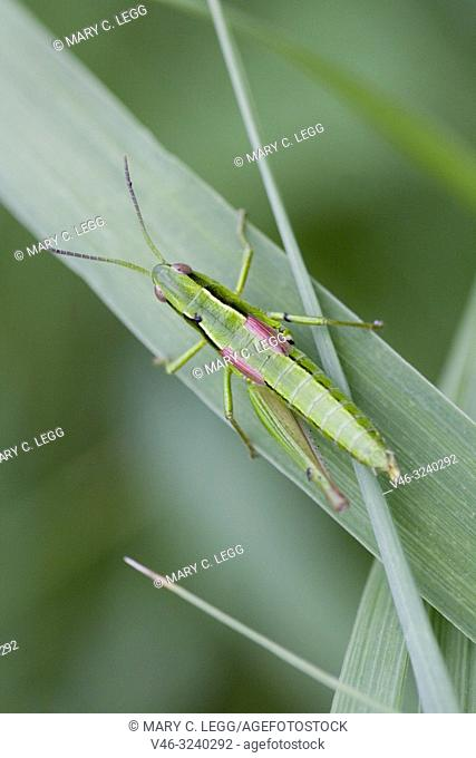 Small Gold Grasshopper, Euthystira brachyptera a short-horned medium-sized grasshopper 15-26mm length. Grass green with gold highlights on underlegs