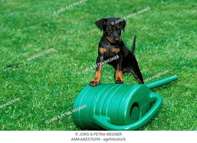 Dog: Manchester Terrier Puppy, 6 weeks old, and Watering Can
