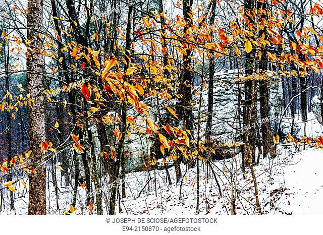 Beech leaves hanging from branches in a snowy forest. Hoover, Alabama, USA, beech tree