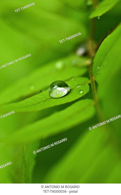 Dew drops of green leaves