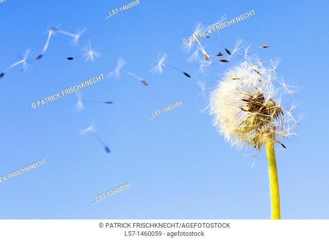 Dandelion, Taraxacum officinale, Switzerland
