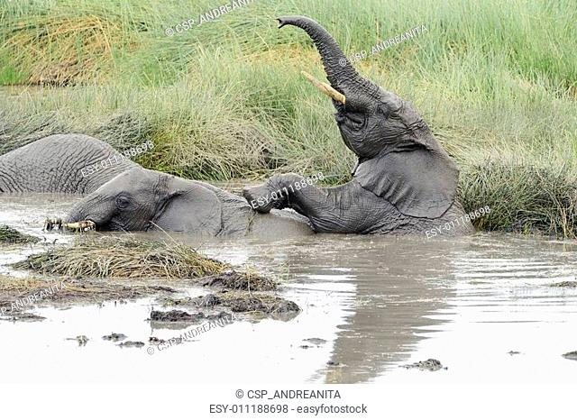 Two young elephants playing in a water pool