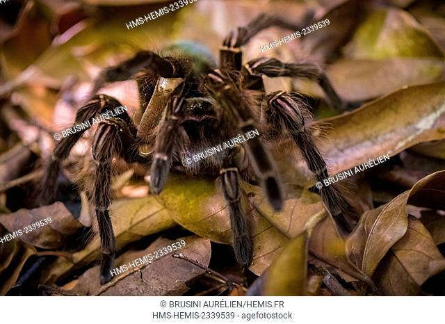France, Guyana, French Guyana Amazonian Park, heart area, Camopi, tarantula (Theraphosa blondi) on Mount Itoupe (830 m), the second summit of French Guyana