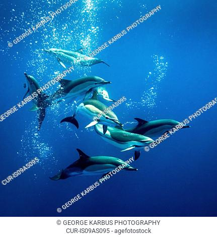 Common dolphins, Pico, Azores Islands, Portugal