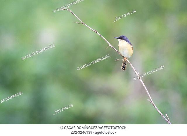 Ashy Prinia (Prinia socialis), adult in breeding plumage perched on branch. Keoladeo National Park. Bharatpur. Rajasthan. India