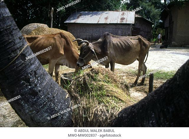 Bangladesh Livestocks feed on in the yard of a house at Gajipur In the rural areas, bullocks are used for carrying loads and ploughing fields Bangladesh