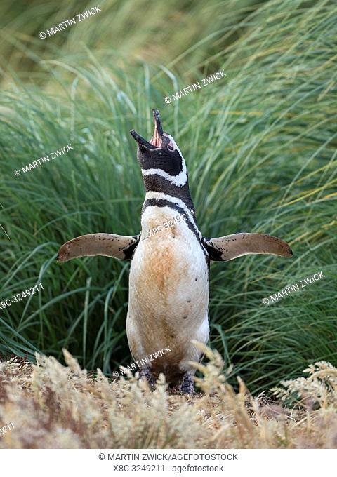 Magellanic Penguin (Spheniscus magellanicus). South America, Falkland Islands, January