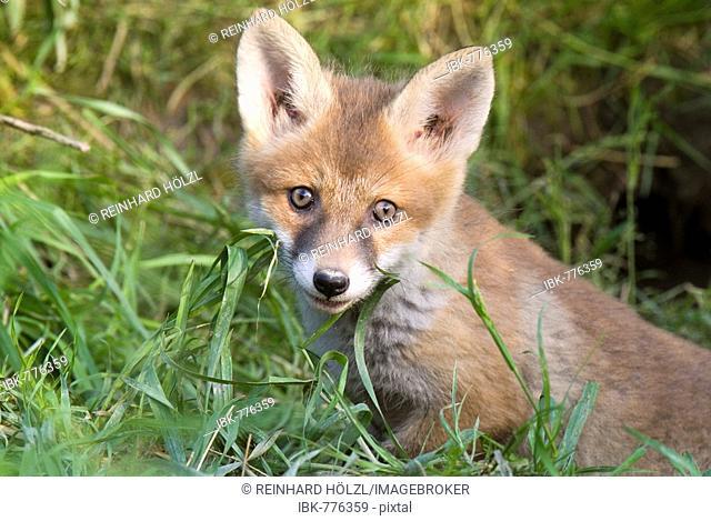 Young Red Fox (Vulpes vulpes), Thaur, Tyrol, Austria, Europe