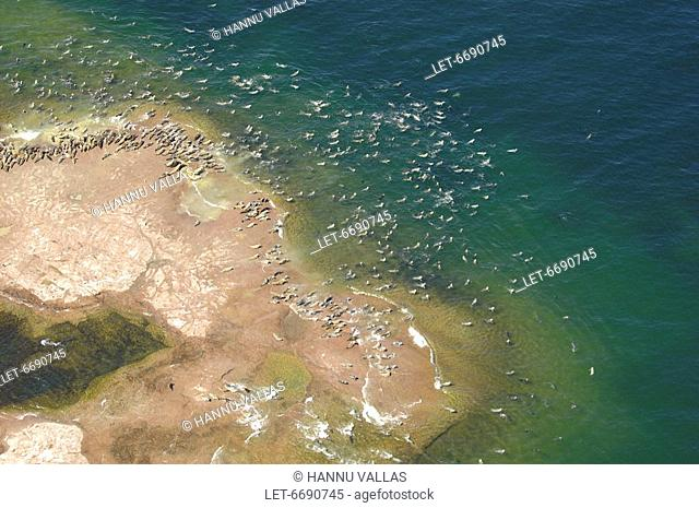 An aerial photo of grey seals Halichoreus grypus lying on a rock in Brändö in the archipelago of the Åland Islands  Over 20 000 grey seals live in the Baltic...