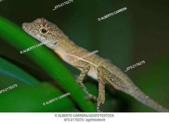 Anolis, Anole Lizard, Tropical Rainforest, Corcovado National Park, Osa Conservation Area, Osa Peninsula, Costa Rica, Central America, America