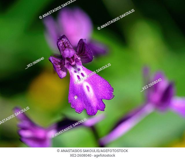 Bory's orchid - Orchis boryi, Crete