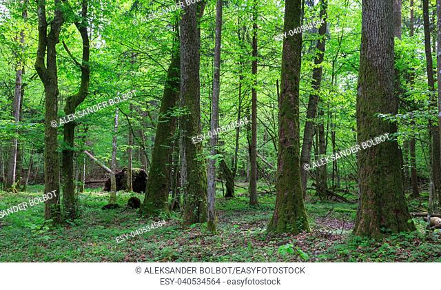 Old alder and hornbeam tree in foregrounf and old natural deciduous stand in background, Bialowieza Forest, Poland, Europe