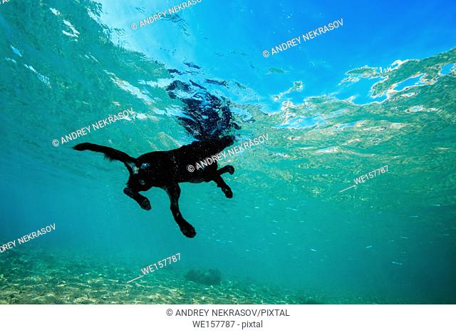 Black dog floats on the surface of the water