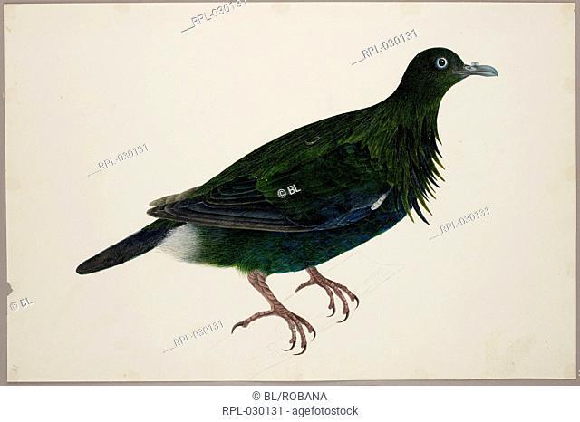 An immature Nicobar Pigeon 'Caloenas Nicobaria'. From an album of 51 drawings of birds and mammals made at Bencoolen, Sumatra, for Sir Stamford Raffles