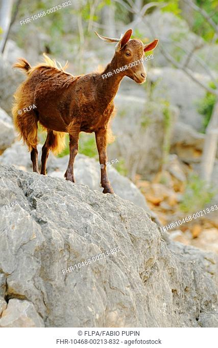Domestic Goat, adult, standing on rock, cause of overgrazing of vegetation on island, Socotra, Yemen, march