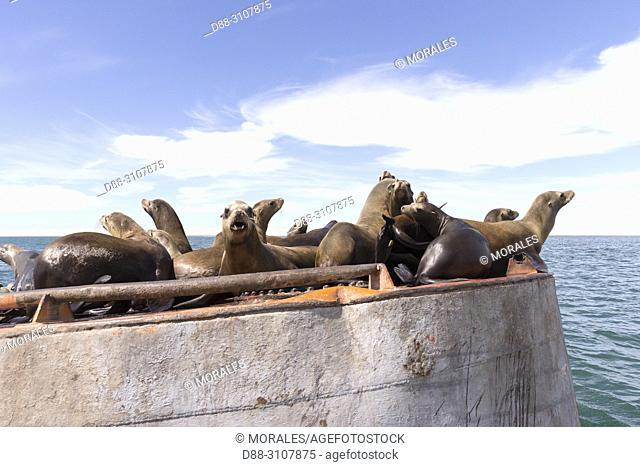 Central America, Mexico, Baja California Sur, Guerrero Negro, Ojo de Liebre Lagoon (formerly known as Scammon's Lagoon), California sea lion ( Zalophus...