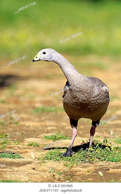 Cape Barren Goose, (Cereopsis novaehollandiae), adult on meadow, Mount Lofty, South Australia, Australia
