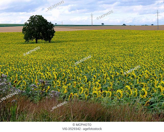 agricultural landscape with sunflower fiel in Rhinehesse, Germany - 14/07/2009