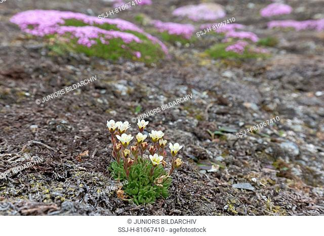 Tufted Alpine Saxifrage, Tufted Saxifrage (Saxifraga cespitosa) and Cushion Pink, Moss Campion (Silene acaulis) flowering in tundra. Svalbard